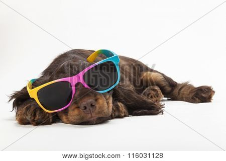 Cute Cocker Spaniel puppy dog sleeping laying down wearing sunglasses