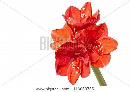Amaryllis (Amaryllidaceae) closeup