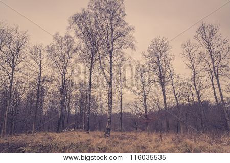 Forest With Birch Trees At Dawn
