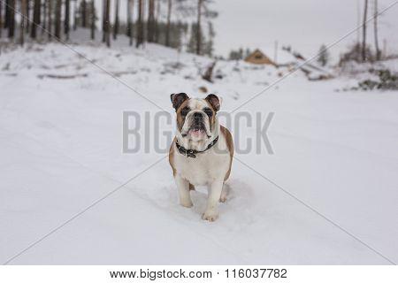Bulldog standing on snow and looking into the distance