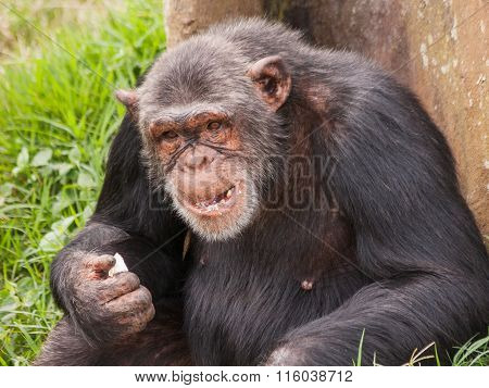 Adult female chimpanzee seats back to tree and eats