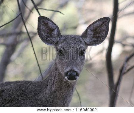 A Close Up Of A Whitetail Deer