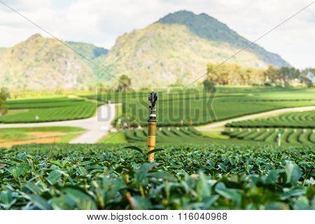 Sprinkle In Green Tea Garden