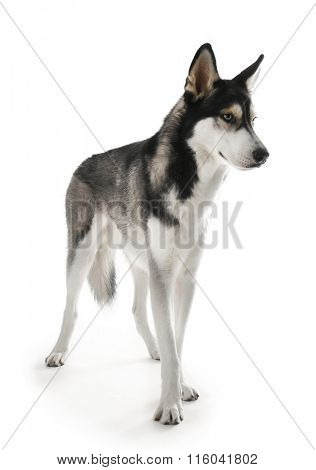 Siberian Husky, isolated on white