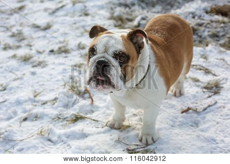 Frozen English bulldog standing in the snow
