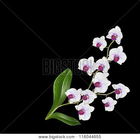 Delicate Orchid Flowers Isolated On Black Background.