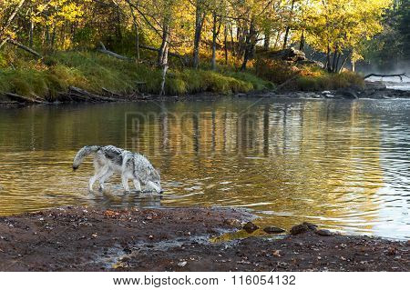 Grey Wolf (canis Lupus) Stands In Water