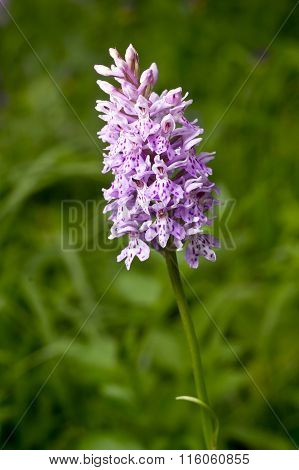 Dactylorhiza fuchsii common spotted orchid plant.