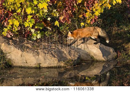 Red Fox (vulpes Vulpes) Runs Along Rock