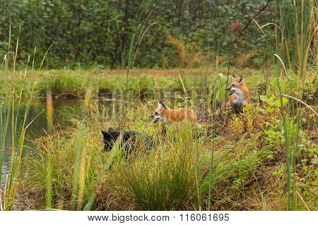 Three Fox (vulpes Vulpes) On Island