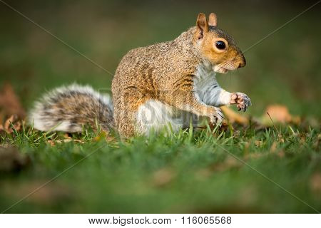 Eastern Grey Squirrel (Sciurus carolinensis)