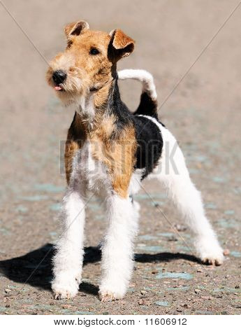 Fox Terrier Standing