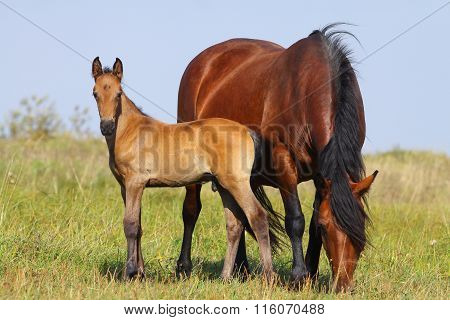 Mare And Foal On A Pasture Together