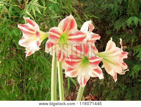 amaryllis bouquet in a garden in summer