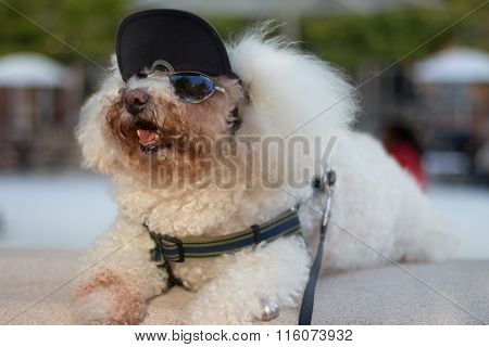 Bichon Frise Dressed Up