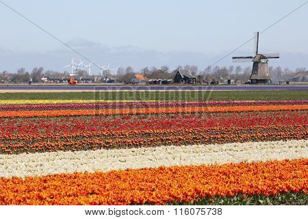 Spring In Netherlands Tulip Flower Field Red Tulips Flowers Windmill