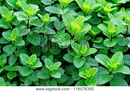 closeup of green mint crops in growth at garden