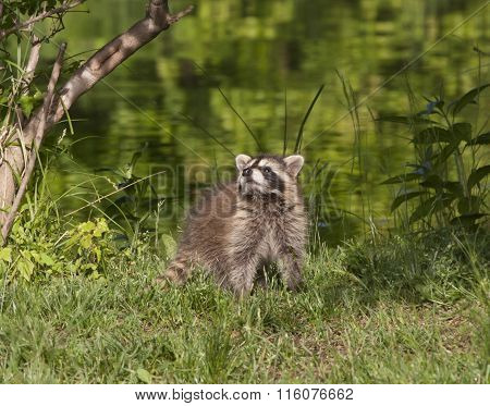 Raccoon Sniffing the Air