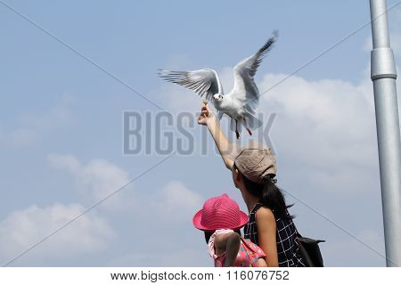 Seagull eating food from hand