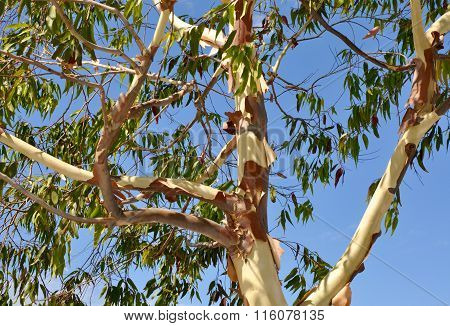 Eucalyptus Tree: Shedding Layers