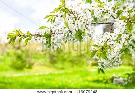 White Cherry Tree Blossoming. Spring Flowers