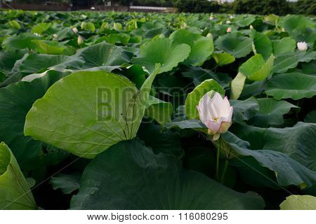 lotus is very beautiful in summer