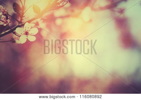 Blossoming of plum tree,nature background.