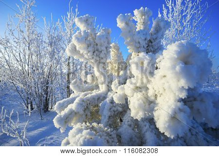 Pine Branches Covered With Hoarfrost In Winter