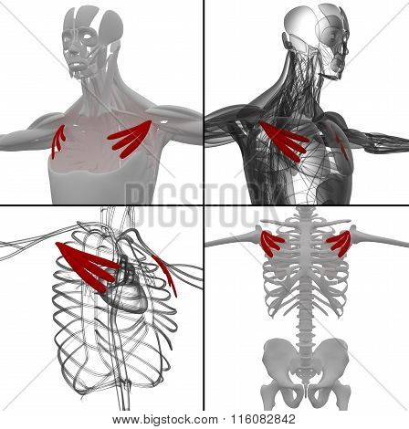 Medical Illustration Of The Pectoralis Minor