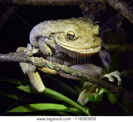 World's Biggest Cuban Tree Frog At Night .the Cuban Tree Frog (