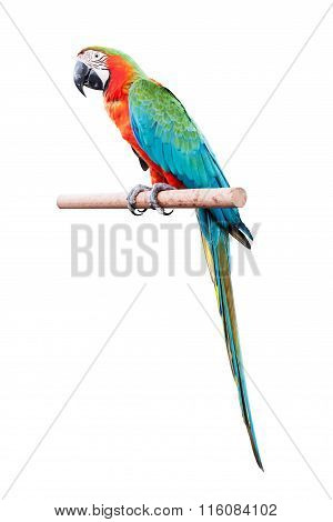 Red Macaw Isolated On White Background
