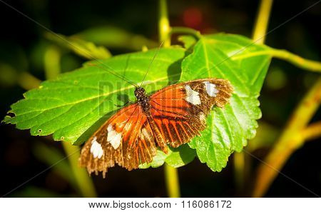 Butterfly Orange Wings With White Blotches