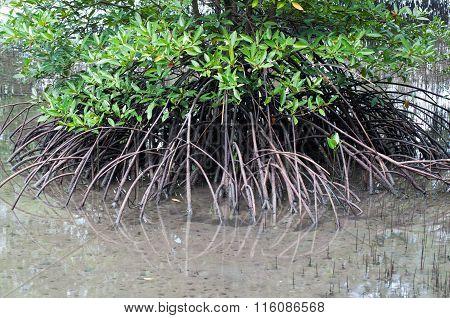 Mangroves Forest