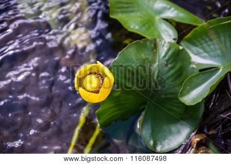 Water Lily Blossom In The Wild