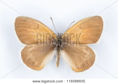 Alpine Heath Coenonympha Gardetta  Butterfly