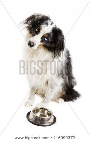 Miniature Australian Shepherd on a white background
