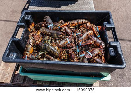 Freshly caught lobster on a Prince Edward Island wharf.