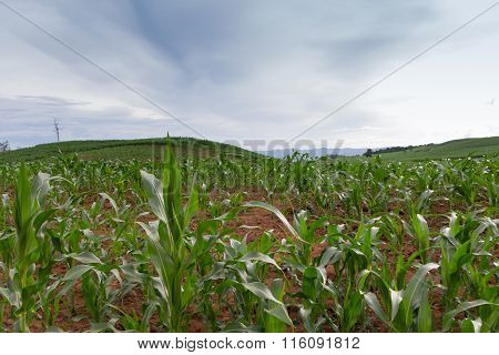 Corn growing in a corn field with sky