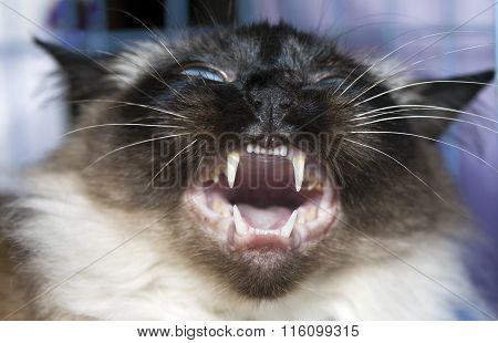 Mouth of  Thai cat