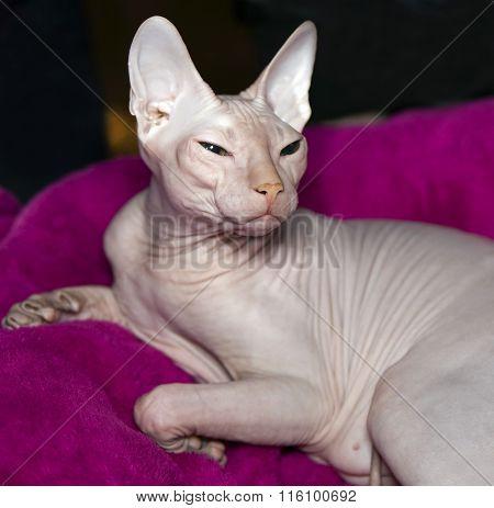 Cat Canadian sphinx