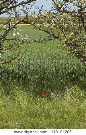 Poppy At The Corn Field