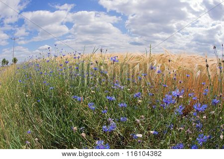 Fisheye lens photo of wheat field with cornflowers