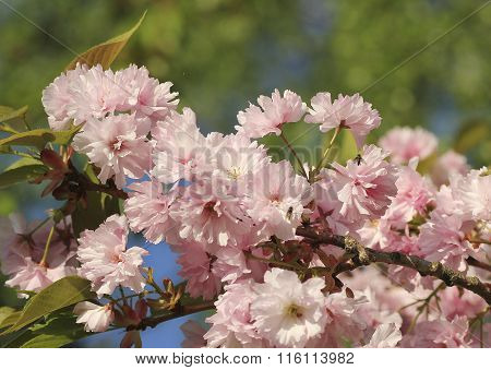 Detail Of A Blossoming Cherry Tree At Springtime