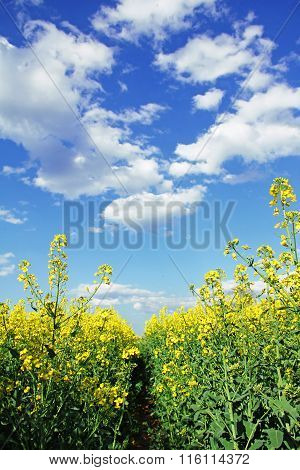 Path Through Rapeseed Field, Blue Sky With Clouds