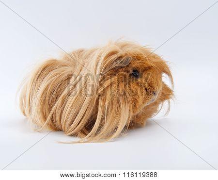 Portrait Of Ginger Guinea Pig..