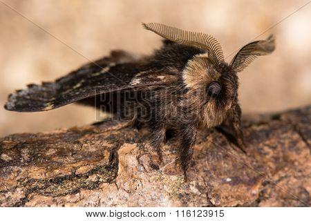 December moth (Poecilocampa populi) ready for take off