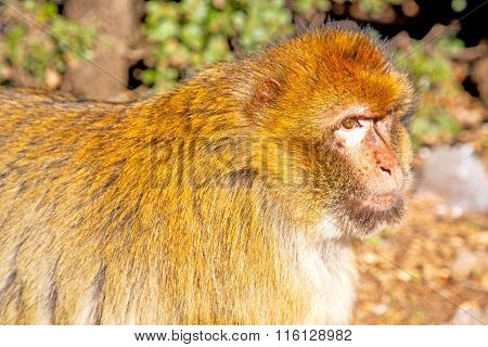 Bush Monkey In  Morocco  Close Up