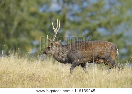 Red deer walking in high grass