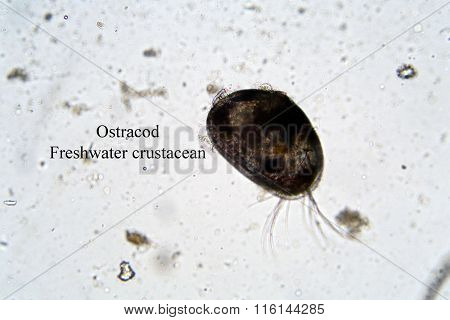 Microscopic freshwater Ostracod aka seed shrimp seen through a Microscope at 100 times its actual size. Taken from a local duck pond of fresh water. Microscopic life single cell animals.