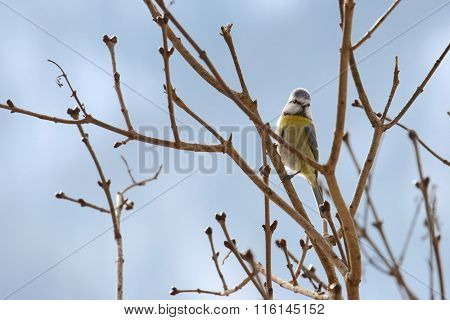 Cute Eurasian Blue Tit bird (Parus Caeruleus) perching on a branch during Winter in Europe